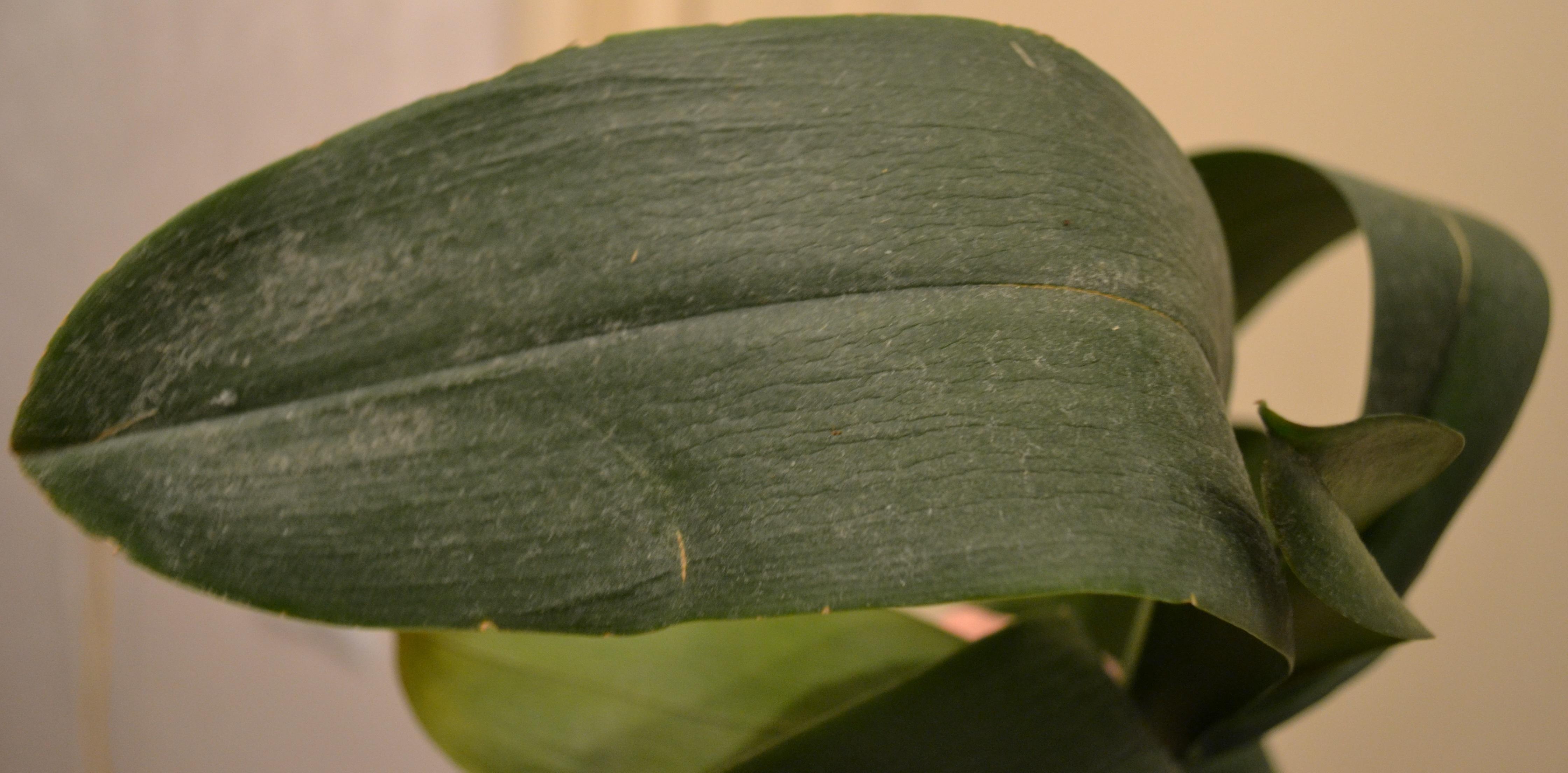 Как размножить орхидею пошагово с