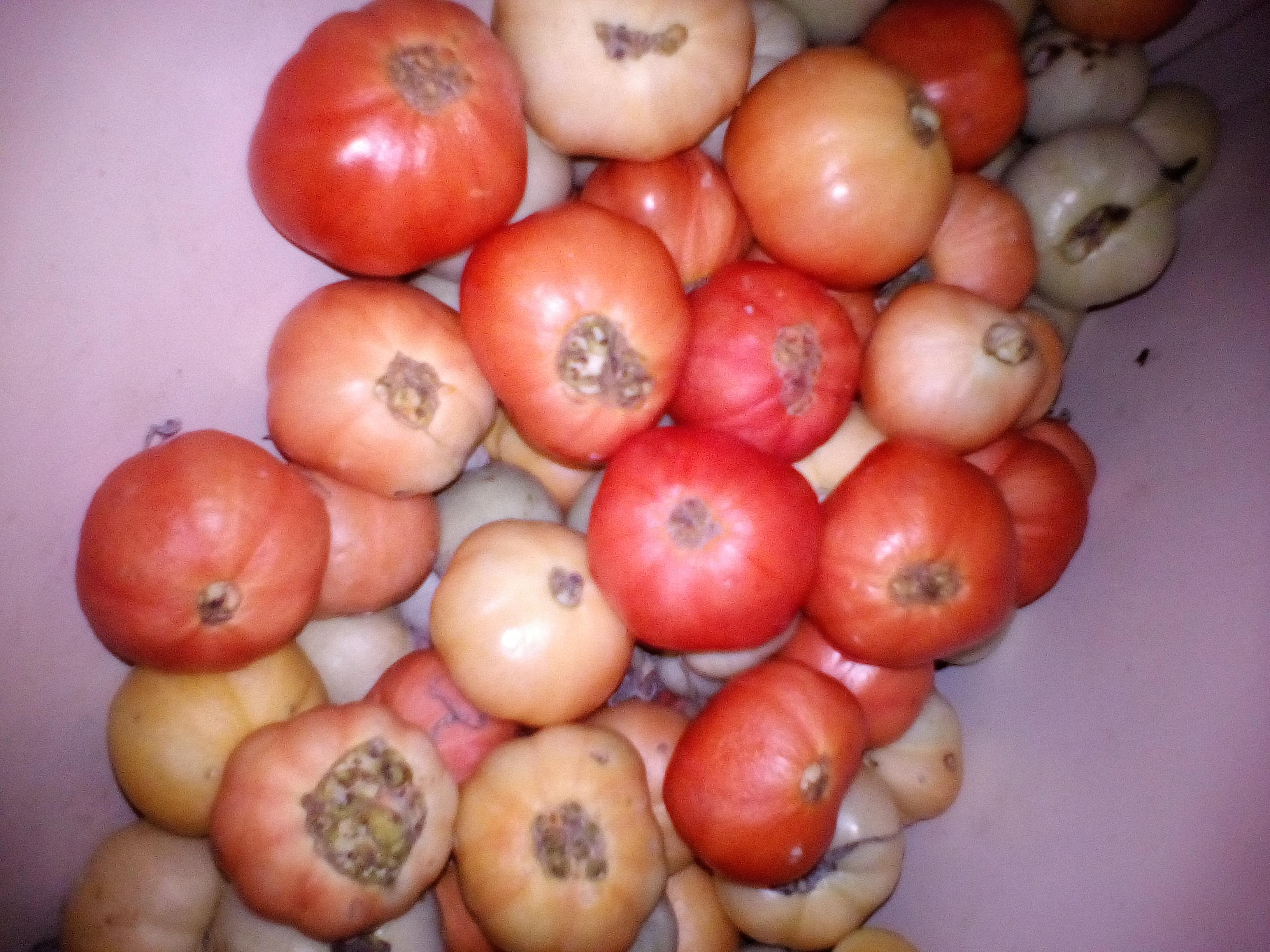 Белые пятна на помидорах в теплице: на рассаде, листьях, плодах, причины появления, симптом каких заболеваний, способы лечения 39